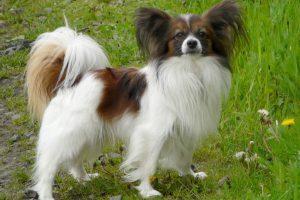 Забавный французский папильон (папийон): описание собак с роскошным окрасом