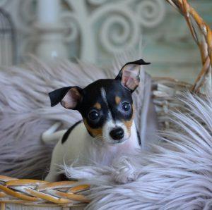 Декоративная, но ателетичная собачка Той Терьер американский: описание породы