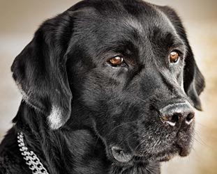 Labrador-black
