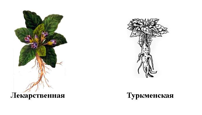 Виды растения Мандрагоры