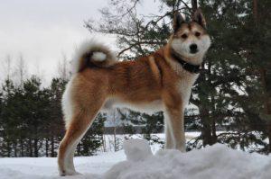 Универсальный питомец западно-сибирская лайка: охранник, охотник, компаньон