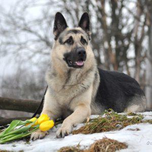 Лучшая служебная собака из СССР Среднеевропейская овчарка (ВЕО): описание и характер породы