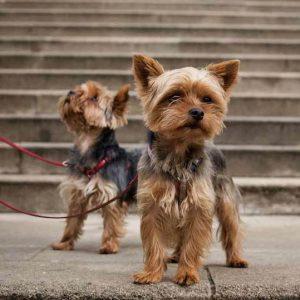 Энергичный и красивый коротыш Йоркширский терьер мини: уход и содержание собаки
