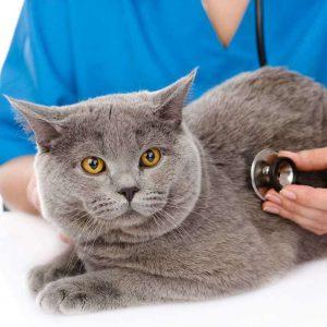 Ответ на самый популярный вопрос любителей Британских кошек сколько они живут в домашних условиях?
